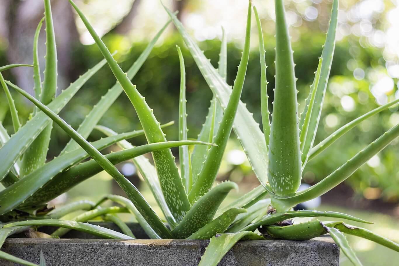 Aloes skutecznie usuwa szkodliwy formaldehyd z powietrza