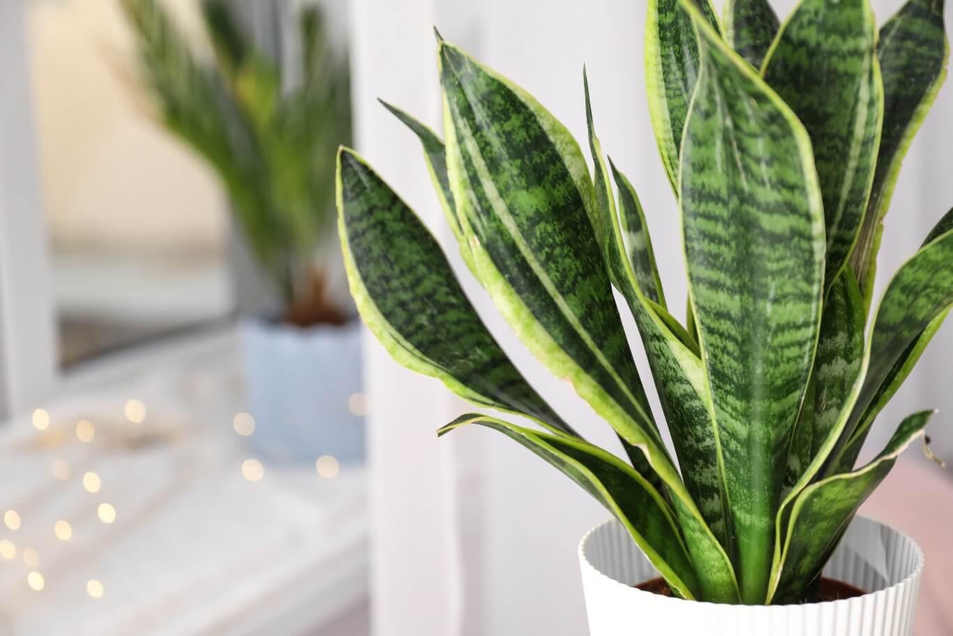 Dzięki swoim dużym i licznym liściom sansewieria bardzo skutecznie filtruje powietrze