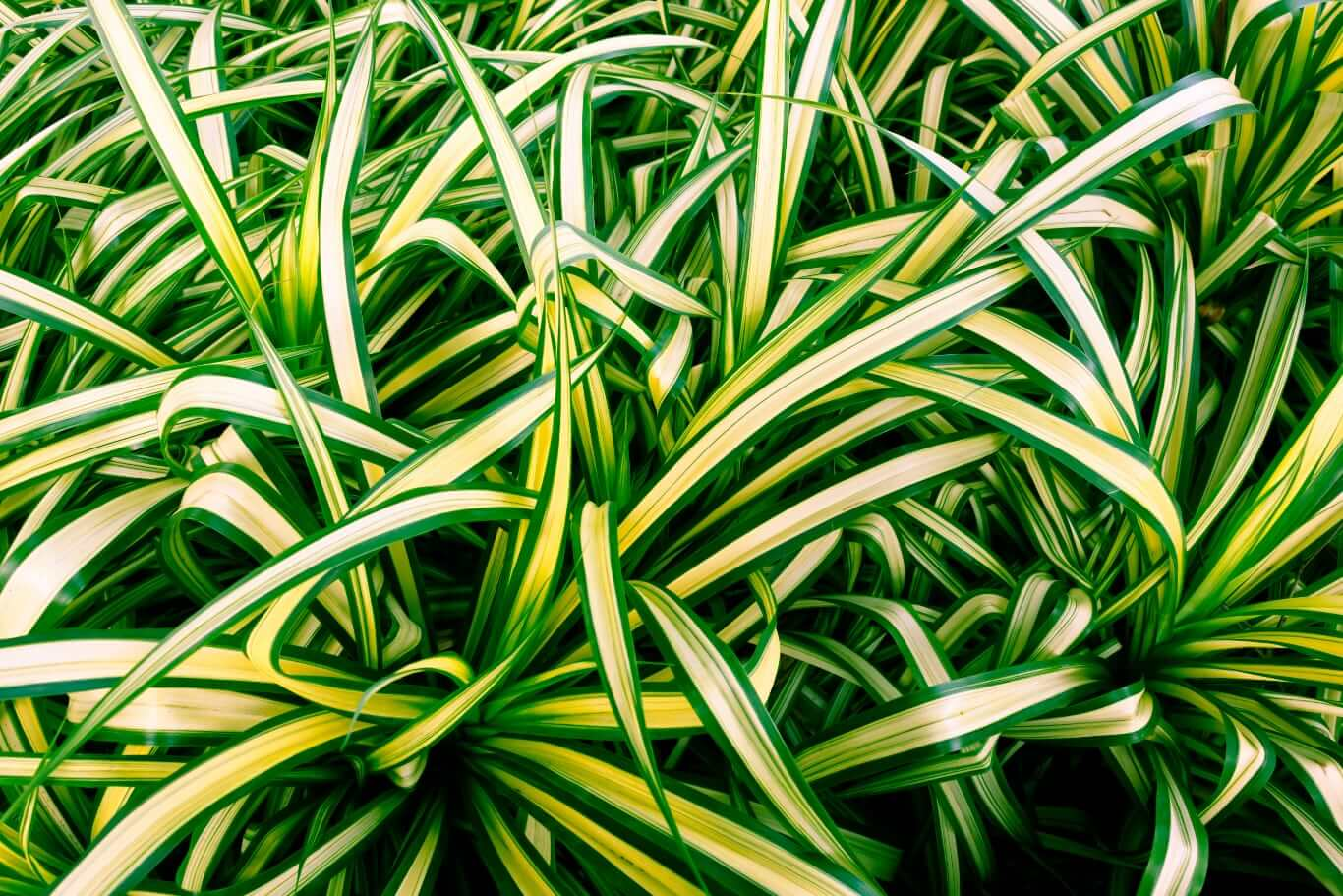 Zielistka potrafi zmniejszyć zawartość formaldehydu w powietrzu aż o 86 procent